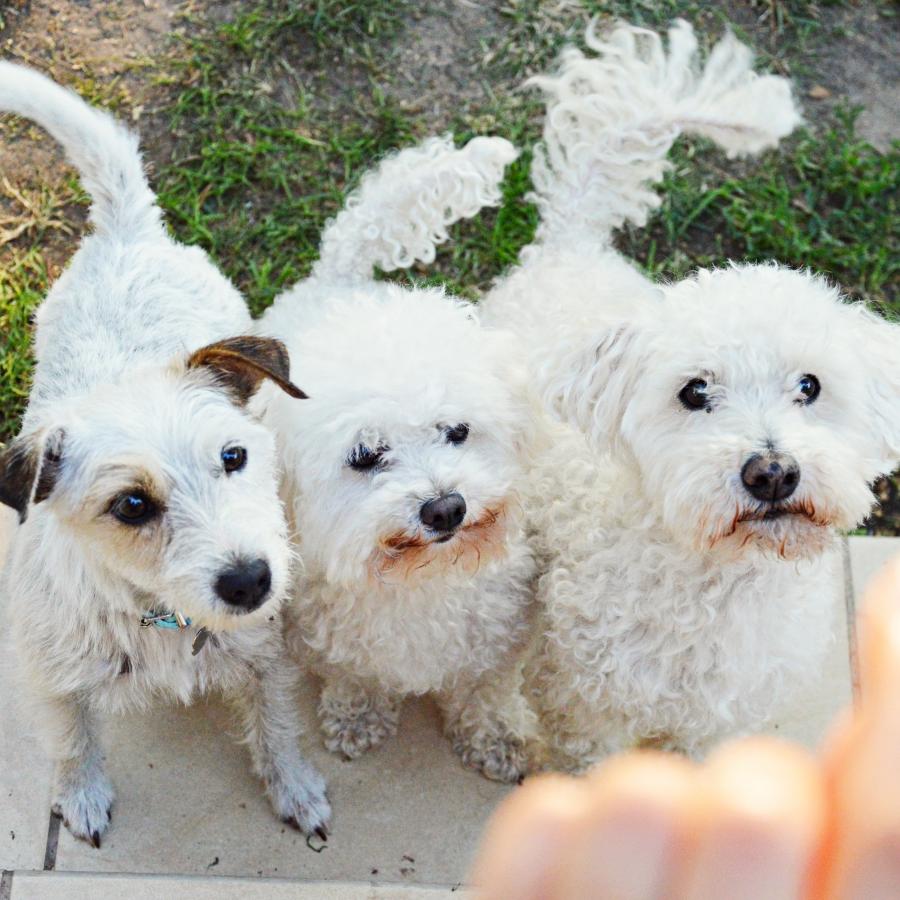 Wymarzony pies